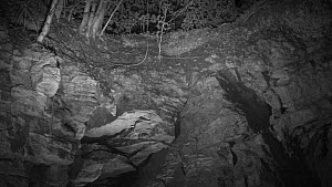Panning shot showing several bats (Myotis) circling around an old quarry face and the entrance to Box Mine during autumn swarming period, Wiltshire, England, UK, September. Recorded during a licensed... - Nick Upton