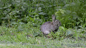 European rabbit (Oryctolagus cuniculus) feeding at dusk, Somerset, England, UK, May.  -  Nick Upton