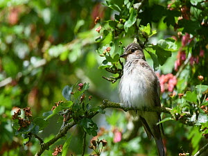 Spotted flycatcher (Muscicapa striata) preening in a tree, Cornwall, England, UK, June. - Nick Upton