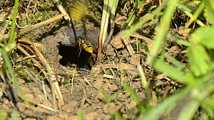 European wasps (Vespula germanica) entering and leaving an underground nest, with some removing balls of soil, Wiltshire, England, UK, July.  -  Nick Upton
