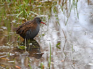 Water rail (Gallus aquatica) foraging close to the margins of a reed bed, Gloucestershire, England, UK, November.  -  Nick Upton