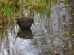 Water rail (Gallus aquatica) foraging in a shallow pond at the margins of a reed bed, Gloucestershire, England, UK, November.  -  Nick Upton