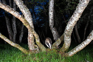 European badger (Meles meles) foraging amongst Birch (Betula sp) trees at night. Glenfeshie, Cairngorms National Park, Scotland, UK. - SCOTLAND: The Big Picture