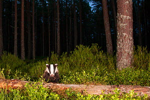 European badger (Meles meles) in Pine (Pinus sp) woodland at night. Glenfeshie, Cairngorms National Park, Scotland, UK. - SCOTLAND: The Big Picture