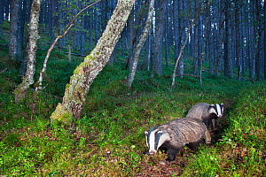 Eurasian badger (Meles meles), two foraging in Pine (Pinus sp) woodland. Glenfeshie, Cairngorms National Park, Scotland, UK.  -  SCOTLAND: The Big Picture