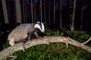 Eurasian badger (Meles meles) walking along branch in Pine (Pinus sp) forest, at night. Glenfeshie, Cairngorms National Park, Scotland, UK. - SCOTLAND: The Big Picture