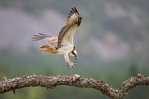 Osprey (Pandion haliaetus) male with talons outstretched to retrieve fish on branch. Glenfeshie, Cairngorms National Park, Scotland, UK. . - SCOTLAND: The Big Picture