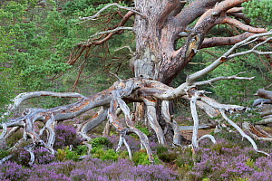 Ancient Scots pine (Pinus sylvestris) amongst flowering Common heather / Ling (Calluna vulgaris). Rothiemurchus Forest, Cairngorms National Park, Scotland, UK.  -  SCOTLAND: The Big Picture