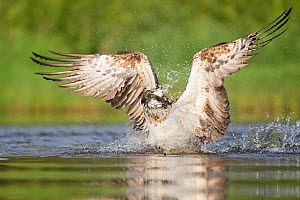 Osprey (Pandion haliaetus) fishing. Rothiemurchus, Cairngorms National Park, Scotland, UK.  -  SCOTLAND: The Big Picture