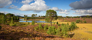 Heath and regenerating Scots pine (Pinus sylvestris) forest around Loch a Garbh-Choire. Abernethy National Nature Reserve, Cairngorms National Park, Scotland, UK. .  -  SCOTLAND: The Big Picture