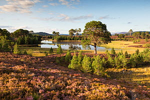 Heath and regenerating Scots pine (Pinus sylvestris) forest around Loch a Garbh-Choire, in evening light. Abernethy National Nature Reserve, Cairngorms National Park, Scotland, UK.  -  SCOTLAND: The Big Picture