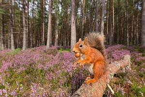Red squirrel (Sciurus vulgaris) with Acorn in mouth, at edge of Pine forest. Ling (Calluna vulgaris) in background. Glenfeshie, Cairngorms National Park, Scotland, UK. - SCOTLAND: The Big Picture
