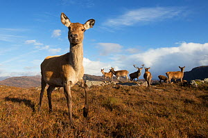 Red deer (Cervus elaphus) hind with herd in background. Lochcarron, Highlands, Scotland, UK. - SCOTLAND: The Big Picture