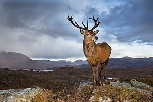 Red deer (Cervus elaphus) stag in upland landscape. Lochcarron, Highlands, Scotland, UK.  -  SCOTLAND: The Big Picture