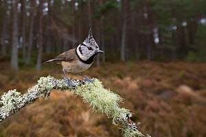 Crested tit (Parus cristatus) perched on lichen covered twig at edge of pine forest. Glenfeshie, Cairngorms National Park, Scotland, UK.  -  SCOTLAND: The Big Picture
