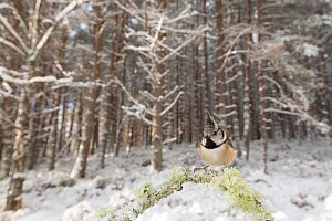 Crested tit (Parus cristatus) perched on lichen covered twig in snowy Pine (Pinus sp) forest. Glenfeshie, Cairngorms National Park, Scotland, UK. - SCOTLAND: The Big Picture