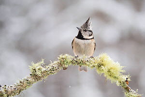 Crested tit (Parus cristatus) perched on lichen covered branch. Glenfeshie, Cairngorms National Park, Scotland, UK. - SCOTLAND: The Big Picture