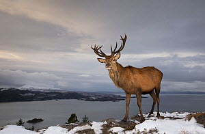 Red deer (Cervus elaphus) stag with Loch Carron and hills in background. Highlands, Scotland, UK. December - SCOTLAND: The Big Picture