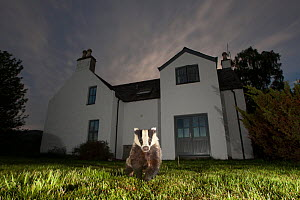 European badger (Meles meles) in front of house at night, Glenfeshie, Cairngorms National Park, Scotland, UK.  -  SCOTLAND: The Big Picture