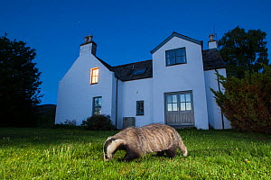 European badger (Meles meles) foraging in front of house at night. Glenfeshie, Cairngorms National Park, Scotland, UK. - SCOTLAND: The Big Picture
