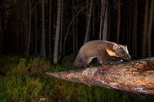 Pine marten (Martes martes) foraging in Pine (Pinus sp) woodland at night. Glenfeshie, Cairngorms National Park, Scotland, UK. - SCOTLAND: The Big Picture