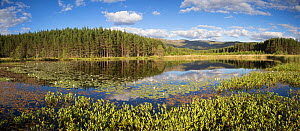Bogbean (Menyanthes trifoliata) and White waterlily (Nymphaea alba) on lochan with forests and hills beyond. Uath Lochans, Glenfeshie, Cairngorms National Park, Scotland, UK. July. - SCOTLAND: The Big Picture
