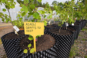 Aspen (Populus tremula) saplings to be used in Caledonian Pine Forest habitat restoration. Trees for Life nursery, Dundreggan Conservation Estate, Dumfries and Galloway, Scotland, UK.  -  SCOTLAND: The Big Picture