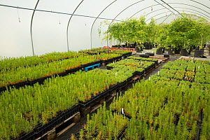 Saplings including Scots Pine (Pinus sylvestris) growing in polytunnel, to be used in Caledonian Pine Forest habitat restoration. Trees for Life nursery, Dundreggan Conservation Estate, Dumfries and G... - SCOTLAND: The Big Picture