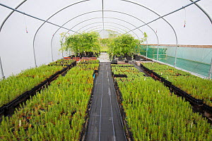 Saplings including Scots Pine (Pinus sylvestris) to be used in Caledonian Pine Forest habitat restoration. Growing in polytunnel, Trees for Life nursery, Dundreggan Conservation Estate, Dumfries and G... - SCOTLAND: The Big Picture