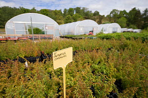 Juniper (Juniperus communis) saplings to be used in Caledonian Pine Forest habitat restoration. Trees for Life nursery, Dundreggan Conservation Estate, Dumfries and Galloway, Scotland, UK. - SCOTLAND: The Big Picture