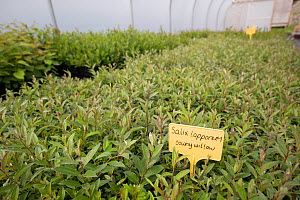 Downy willow (Salix lapponum) saplings to be used in habitat restoration. Trees for Life nursery, Dundreggan Conservation Estate, Dumfries and Galloway, Scotland, UK. - SCOTLAND: The Big Picture