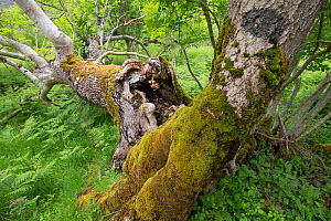 Deadwood decaying in ancient Ash (Fraxinus excelsior) woodland. Rassal National Nature Reserve, Wester Ross, Highland, Scotland, UK. - SCOTLAND: The Big Picture