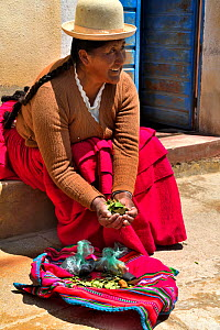 Aymara women with coca leaves (Erythroxylum coca) Lake Titicaca, Bolivia. - Daniel  Heuclin