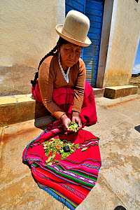 Aymara woman with coca leaves (Erythroxylum coca) Lake Titicaca, Bolivia. - Daniel  Heuclin