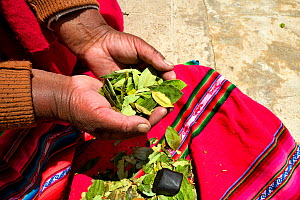 Aymara woman with coca leaves (Erythroxylum coca) in hand, Lake Titicaca, Bolivia. - Daniel  Heuclin