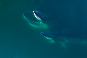 Aerial view Fin whales (Balaenoptera physalus) lunge-feeding with throat pouch distended, southern Sea of Cortez (Gulf of California), Baja California, Mexico.  -  Mark Carwardine
