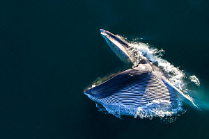 Aerial view of Fin whale (Balaenoptera physalus) lunge-feeding, with mouth open and throat pouch distended, southern Sea of Cortez (Gulf of California), Baja California, Mexico. - Mark Carwardine