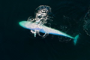 Aerial view of Fin whale (Balaenoptera physalus) lunge-feeding in the southern Sea of Cortez (Gulf of California), Baja California, Mexico.  -  Mark Carwardine