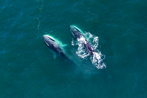 Aerial view Fin whales (Balaenoptera physalus) lunge-feeding in the southern Sea of Cortez (Gulf of California), Baja California, Mexico.  -  Mark Carwardine