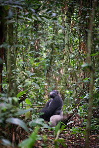 Western lowland gorilla (Gorilla gorilla gorilla) sitting, looking up in lowland forest, Odzala National Park, Republic of Congo. April. - Will Burrard-Lucas