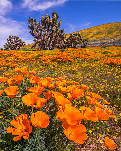 Yellow California goldfields (Lasthenia californica) and orange California Poppies (Eschscholzia californica), with a flowering Joshua tree (Yucca brevifolia). Antelope Butte, near the Antelope Valley... - Jack Dykinga