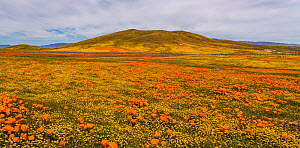 Yellow California goldfields (Lasthenia californica) and orange California Poppies (Eschscholzia californica) carpet the hillside. Antelope Butte, near the Antelope Valley California Poppy Reserve, Mo... - Jack Dykinga