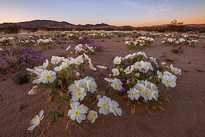 Night-blooming birdcage evening primrose (Oenothera deltoides) flowers, opened for moth polination at dawn. With Joshua Tree Wilderness and Joshua Tree National Park's Coxcomb Mountains in the bac... - Jack Dykinga