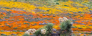 Yellow California goldfields (Lasthenia californica) and orange California poppies (Eschscholzia californica) carpet the hillside, with flowering Joshua Tree (Yucca brevifolia) in the forground. Antel...  -  Jack Dykinga