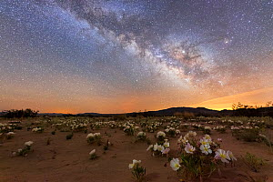 Night-blooming birdcage evening primrose (Oenothera deltoides) opened for moth polination, under the Milky Way. Mojave Desert, with Joshua Tree Wilderness and Joshua Tree National Park's Coxcomb M... - Jack Dykinga