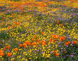 Yellow California goldfields (Lasthenia californica) and orange California poppies (Eschscholzia californica), with gilia intermixed. Antelope Butte, near the Antelope Valley California Poppy Reserve,... - Jack Dykinga