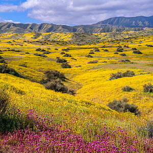 Foothills of the Temblor Range, carpeted with Coreopsis (yellow) and Purple Owl's Clover (Castilleja exserta) flowers. Carrizo Plain, California, USA. 30th March 2019. - Jack Dykinga
