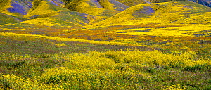 Steep valleys in the foothills of the Temblor Range, carpeted with Coreopsis (yellow) and Phacelia (purple) with patches of orange California poppy (Eschscholzia californica). Carrizo Plain, Californi...  -  Jack Dykinga
