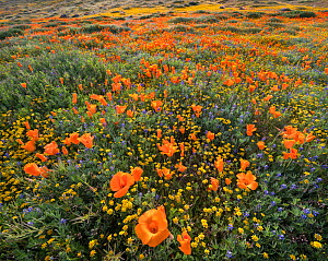 Yellow California goldfields (Lasthenia californica) and orange California poppies (Eschscholzia californica), with lupins intermixed. Antelope Butte, near the Antelope Valley California Poppy Reserve...  -  Jack Dykinga