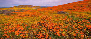 Carpet of yellow California goldfields (Lasthenia californica) punctuated by orange California poppies (Eschscholzia californica). Antelope Butte, near the Antelope Valley California Poppy Reserve, Mo...  -  Jack Dykinga